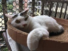 Free Cat, Felidae, Carnivore, Small To Medium-sized Cats Stock Photography - 95317802
