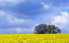 Free Canola Fields Stock Photography - 95317812