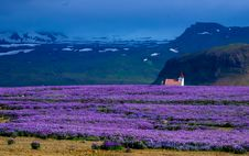 Free Field Of Violet Flowers Royalty Free Stock Images - 95317999
