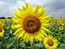 Free Close Up Photo Of Sunflower Stock Photography - 95318022