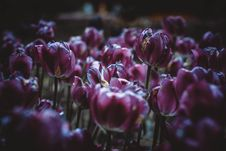 Free Purple Tulips Royalty Free Stock Images - 95354789