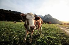 Free Cow On Pasture Royalty Free Stock Images - 95354879