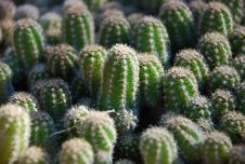 Free Cactus Pad Stock Photos - 9540063