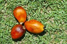Free Oil Palm Seed Series 01 Royalty Free Stock Image - 9542496