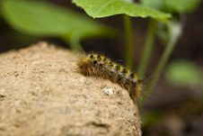 Tent Caterpillar (Washington State) Royalty Free Stock Images
