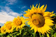Free Gold Sunflowers Royalty Free Stock Photo - 9543885
