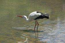 Free The White Stork Royalty Free Stock Photos - 9543978