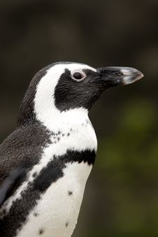 Free Close-up Of African Penguin Stock Images - 9544414