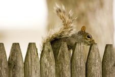 Free Squirrel Hiding Behind Fence Stock Photography - 9544422