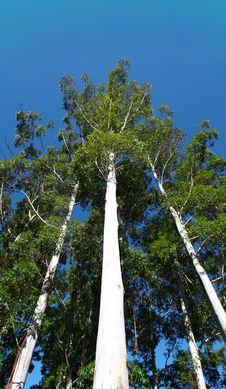 Free Tall Trees Royalty Free Stock Photos - 9544818