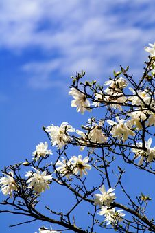 Free Cherry Flower Bloom Royalty Free Stock Photos - 9545088