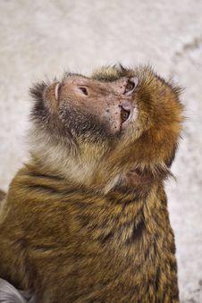 Free Zoo Monkey Animal Stock Photo - 9545470