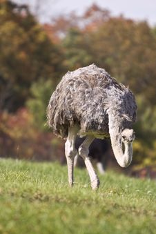 Ostrich In A Grass Stock Image