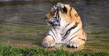 Free Siberian Tiger Stock Photos - 9545753