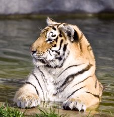 Free Siberian Tiger Stock Photography - 9546202