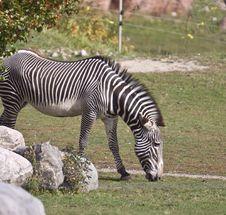 Free Zebra Stock Photo - 9546310
