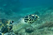 Free Hawksbill Sea Turtle Stock Images - 9546404