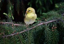 Free Goldfinch On A Spruce Branch Stock Photos - 9547103