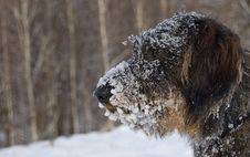 Free Dog With Snow On Face Stock Photos - 95409383
