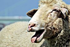 Free Portrait Of Sheep Royalty Free Stock Photography - 95409817
