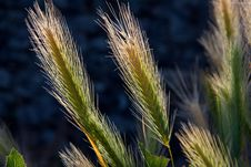 Free Grass Family, Food Grain, Hordeum, Grass Stock Images - 95448144