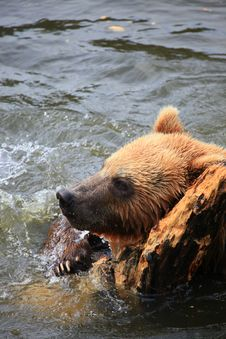 Kodiak Bear Royalty Free Stock Photo