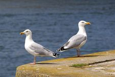 Free Couple Of Seagull Watching In The Habour Royalty Free Stock Photos - 9551008