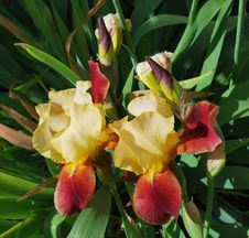 Free Two Irises Royalty Free Stock Photos - 9551278