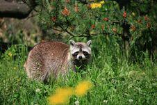 Free Raccoon Stock Image - 9553591
