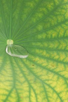 Free Waterdrop On Lotus Leaf Royalty Free Stock Images - 9555409