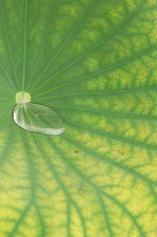 Free Waterdrop On Lotus Leaf Royalty Free Stock Images - 9555409