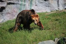 Free Kodiak Bear Royalty Free Stock Image - 9555786