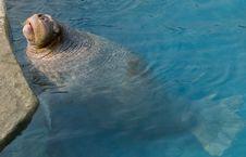Walrus 4 Stock Photography