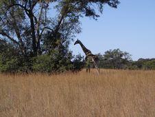 Camouflaged Giraffe Stock Photo
