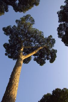 Free Evergreen Trees In The Sky Royalty Free Stock Photos - 9557098