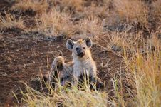 Young Spotted Hyaena (Crocuta Crocuta) Royalty Free Stock Photos