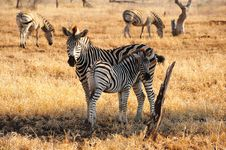 Burchell S Zebras (Equus Burchellii) Stock Images
