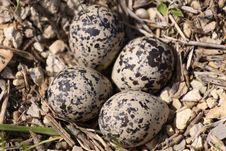 Free Killdeer Eggs Stock Photo - 9558010