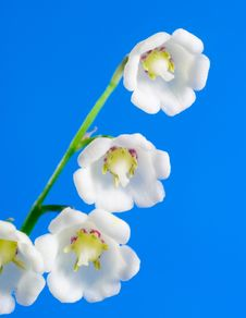Free Lily Of The Valley Stock Photography - 9559312