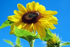Free Flower, Sunflower, Sunflower Seed, Daisy Family Stock Image - 95521941