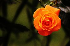 Free Flower, Rose Family, Rose, Yellow Stock Photos - 95522653