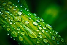 Free Green Leaf With Water Drops Royalty Free Stock Images - 95536779