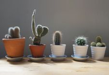 Free Cactus Plants In Pots Stock Photography - 95536812
