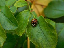 Free Ladybug On Green Leaf Stock Photos - 95536873