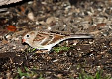 Free Brown And White Small Bird Stock Image - 95536971