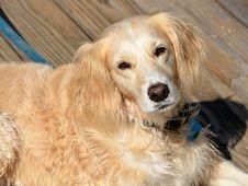 Free Portrait Of Golden Retriever Stock Photo - 95537020