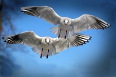 Free Two White And Black Bird Flying During Daytime Stock Photography - 95537062