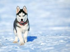 Free Husky Puppy In Snow Royalty Free Stock Image - 95593696