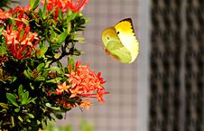 Free Yellow Butterfly Hovering Over Red Ixora Stock Images - 95593874