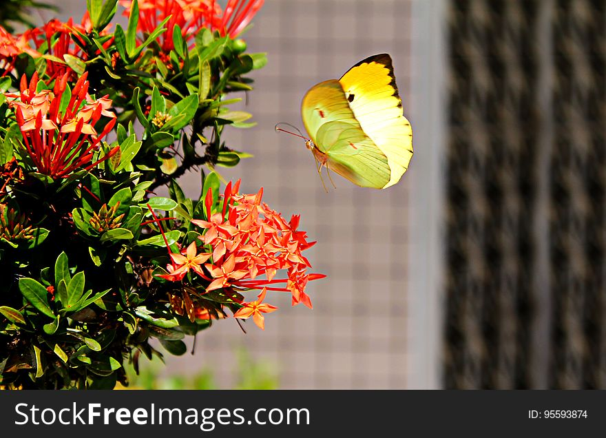 Yellow Butterfly Hovering over Red Ixora
